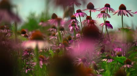 temperada : Field with flowers Echinacea