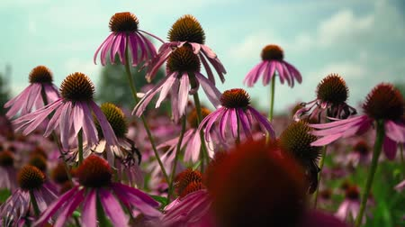 temperada : Flowers echinacea on a flower field Stock Footage