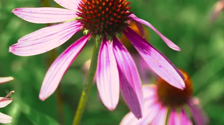 temperada : Beautiful flower of echinacea swayed in the wind.