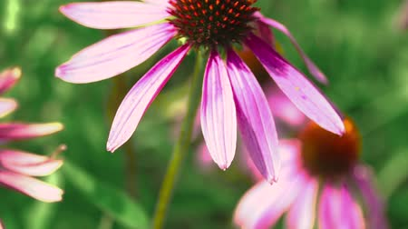 smelling : Beautiful flower of echinacea swayed in the wind.