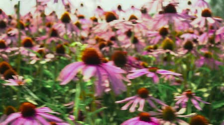 smelling : Flowers echinacea on a flower field Stock Footage