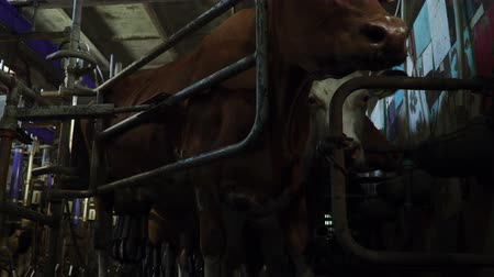 cutted : Cows are in the aviary during milking milking machine in the barn