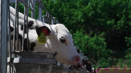 feeder : Calves are eaten from buckets Stock Footage