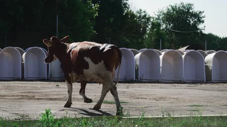 cativeiro : The cow ran to the calves Vídeos