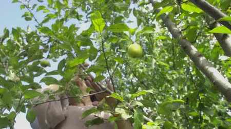 plucks : Adult woman plucks an apple and gives it to her husband