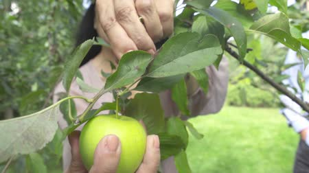 apple park : Adult woman plucks an apple in the garden Stock Footage