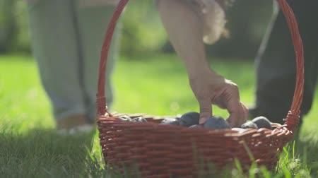 imitates : Female hand takes a plum from the basket Stock Footage
