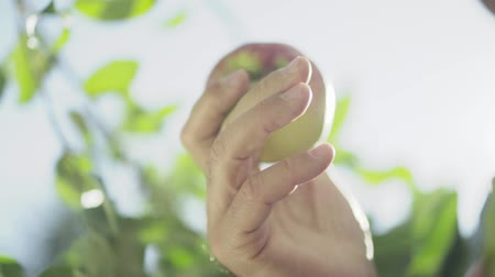 reaching : Male hand holding an apple. Close-up.