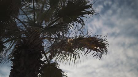 palma : Palm leaves swaying in the wind close-up. Slow motion.