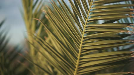 vibes : Palm leaves sway in the wind closeup. Weather is windy