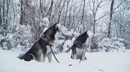 large breed dog : Two beautiful siberian huskies dogs on a lashes seat on the snow on the background of winter white forest