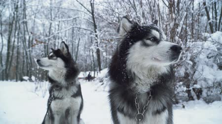 loajální : Two beautiful husky with iron collars sitting on the snow in the park. Dogs on a winter walk.