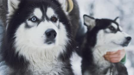 huskies : Young woman strokes two beautiful siberian fluffy huskies with different color eyes on the snow forest background. Dogs on a winter walk in the forest.