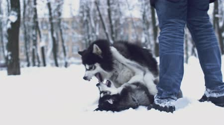 huskies : Two playful siberian huskies bite each other and play with their owner walking together in the park in winter day. Dogs on a winter walk in the forest.