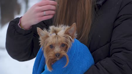 yorkie : Girl holding small yorkshire terrier covered in blanket outdoors. Close up. Slow motion. Stock Footage