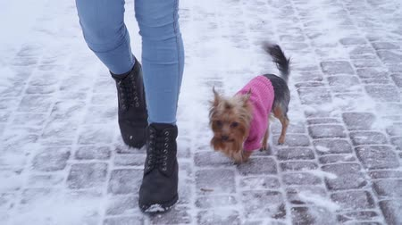 yorkie : Yorkshire terrier dressed in wool sweater walk with owner at winter snow-covered park. A teenager and a dog on a walk outdoors. Slow motion.
