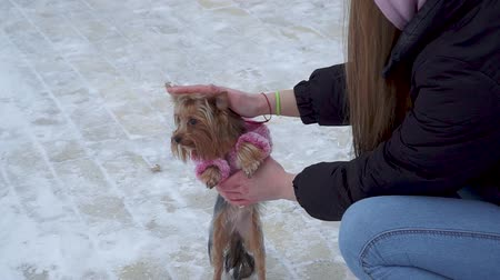 yorkie : Yorkshire terrier dressed in wool sweater walk with owner at winter snow-covered park. A teenager and a dog on a walk outdoors. Girl playing with her pet. Slow motion.