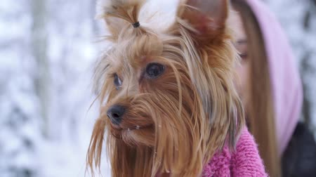 yorkie : Close up portrait a yorkshire terrier dressed in wool sweater walking with the owner in a winter snow-covered park. Teenager and a dog outdoors together. Slow motion. Stock Footage