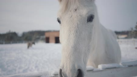 equitação : Beautiful white thoroughbred horse standing behind fence in snow at a ranch close up. Several horses in the background in the winter paddock. Concept of horse breeding. Camera moves around