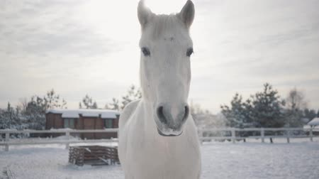 pónei : Beautiful muzzle of a white horse standing on the barred area of a country ranch. Horses walk outdoors in the winter.