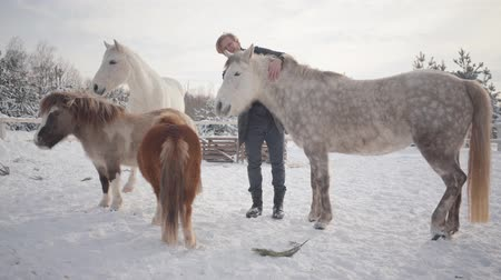 пони : Happy bearded man petting neck of beautiful gray dappled horse at a winter ranch. Two small ponies and one white horse standing near. Concept of horse breeding
