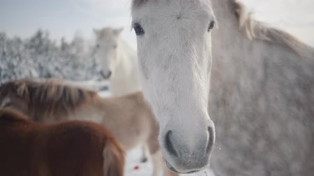 konie : Two horses and two ponies walking on suburban ranch in winter weather outdoors.