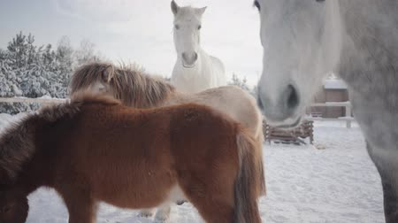 пони : Beautiful horses and pony walking on the winter ranch. Concept of horse breeding
