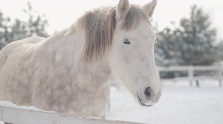 télen : Adorable white thoroughbred horse standing behind fence in snow at a suburban ranch. Concept of horse breeding.
