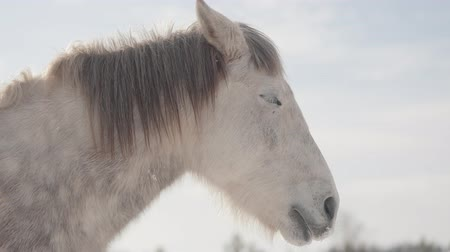 tame animal : Adorable muzzle of a white horse standing on a country ranch. Horses walk outdoors in the winter. Stock Footage