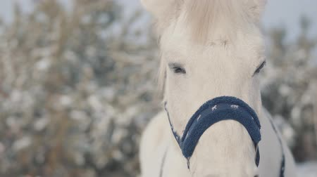equitação : Close up adorable muzzle of a white horse standing on a country ranch. Horses walk outdoors in the winter.