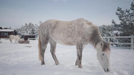 horse breeding : Beautiful horses standing at the winter ranch. Concept of horse breeding. Slow motion.