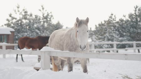 tame animal : Beautiful adorable white thoroughbred horse standing behind fence in snow at a suburban ranch. Concept of horse breeding. Stock Footage