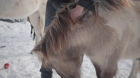 poník : Man strokes muzzle adorable small pony at a ranch close up. Concept of horse breeding. Slow motion.