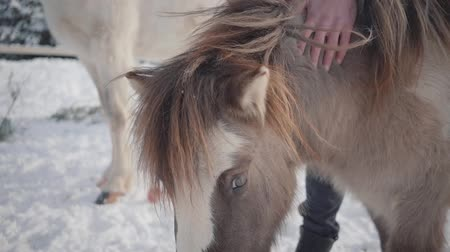 horse breeding : Unrecognized man strokes muzzle adorable small pony at a ranch close up. Concept of horse breeding