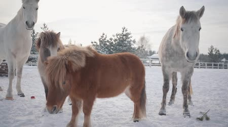 tame animal : Two horses and two ponies walking on suburban ranch in winter weather outdoors. Slow motion. Stock Footage