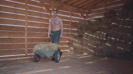 usual : Half-dressed bearded man in glasses with light hair and hot body driving wheelbarrow with hay in the cold winter barn. Farmer walking toward the camera. Rancher works at his farm. Slow motion Stock Footage