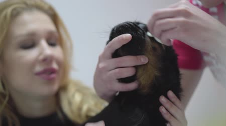 ветеринар : Blond woman holding head of her small black pug while hands of nurse cleaning his eyes. Animal treatment concept. Little dog is sick. Pet care at veterinarian Стоковые видеозаписи