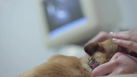 sonography : Female hand strokes a dog lying on the table in a veterinary clinic. Close up. Stock Footage