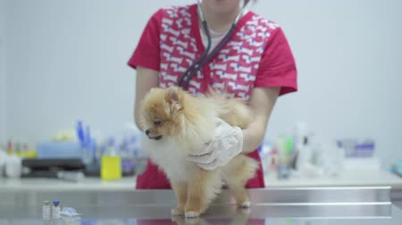 sonography : Unrecognizable nurse in colorful medical gown checking heart beating of small dog pomeranian spitz using stethoscope. Animal treatment concept. Camera moves right