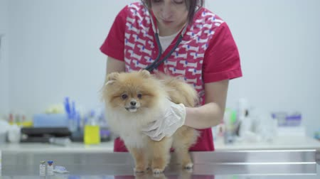 obstetra : Veterinarian woman with stethoscope examining dog in veterinary clinic. Animal treatment.