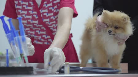 fearless : Hands of unrecognizable nurse in colorful medical gown picks up the medicine in the syringe for vaccination small fluffy dog pomeranian spitz. Female owner caressing her pet, calming him Stock Footage