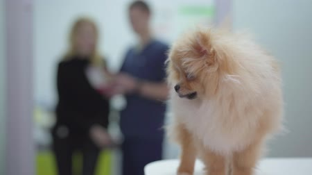 сосредоточиться на переднем плане : Small fluffy dog pomeranian spitz in veterinary clinic close up. Two blurred figures of talking women owner and doctor in the background. Nurse hands take away animal. Camera moves right Стоковые видеозаписи