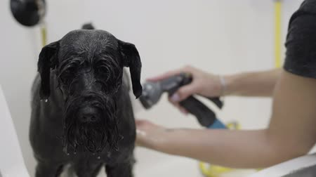 послушный : Young professional pet groomer washing black big dogs body with shampoo while pet is nice and obedient