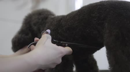 canino : Female hand in professional groomer shears dog wool with scissors. Adorable dog in barber pet. Pet grooming salon.