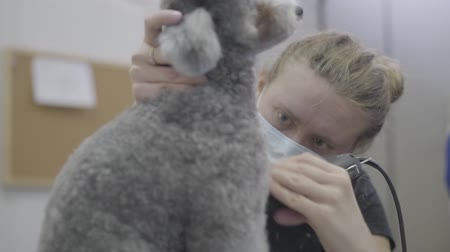 canino : A woman professional groomer shears wool on dog with electro clipper. Adorable domestic pet.