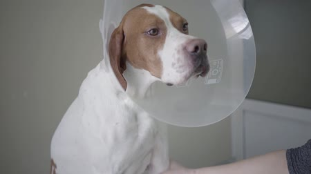 obediente : Close up of sad pointer dog with brown spots in veterinary collar looking in the camera. The animal is on the table in veterinary clinic, human hand holding paw of the dog. Pet health care