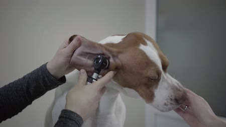 послушный : Close up hands of the doctor examining ear of big pointer dog with brown spots while owner feeding the pet. The animal is in veterinary clinic. Pet health care and medical concept Стоковые видеозаписи