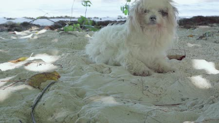 wakes : Seychelles. Praslin Island. Cute funny fluffy white dog resting on the beach on the sand close up. The animal wakes up sharply and jumps to his feet, looking on the sides. The doggy resting near sea.