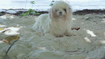 wakes : Seychelles. Praslin Island. Cute funny fluffy white dog lying on the beach on the sand close up. The animal wakes up sharply and jumps to his feet, looking on the sides. The doggy resting near sea.