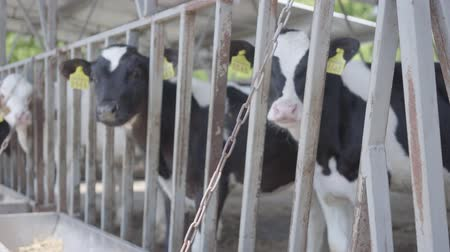 cow milk : Healthy young cows on outdoor milk farm with tags waiting for their feeding in spring day Stock Footage